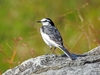 "Latest newsletter: ""Wagtail"""